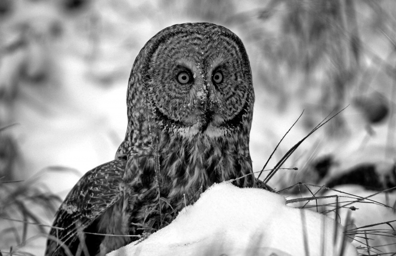 Great Grey Owl Intense Stare