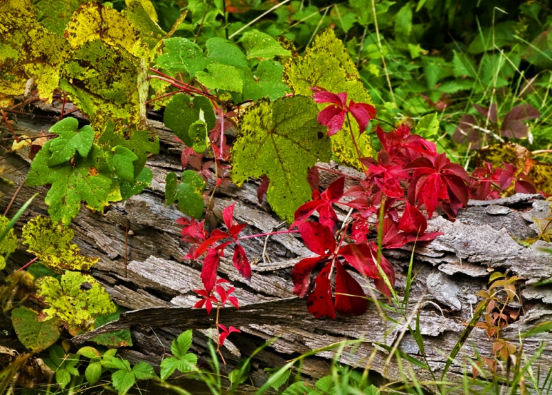 Virginia Creeper On A Log