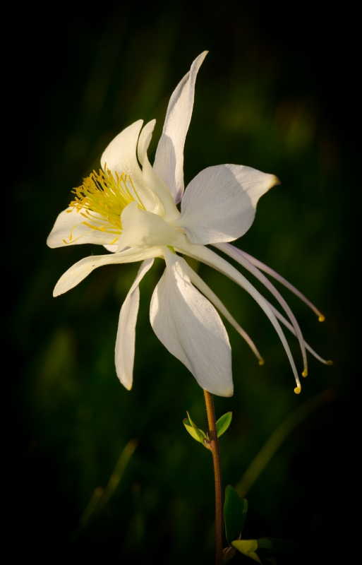 White Columbine In The Early Morning Light