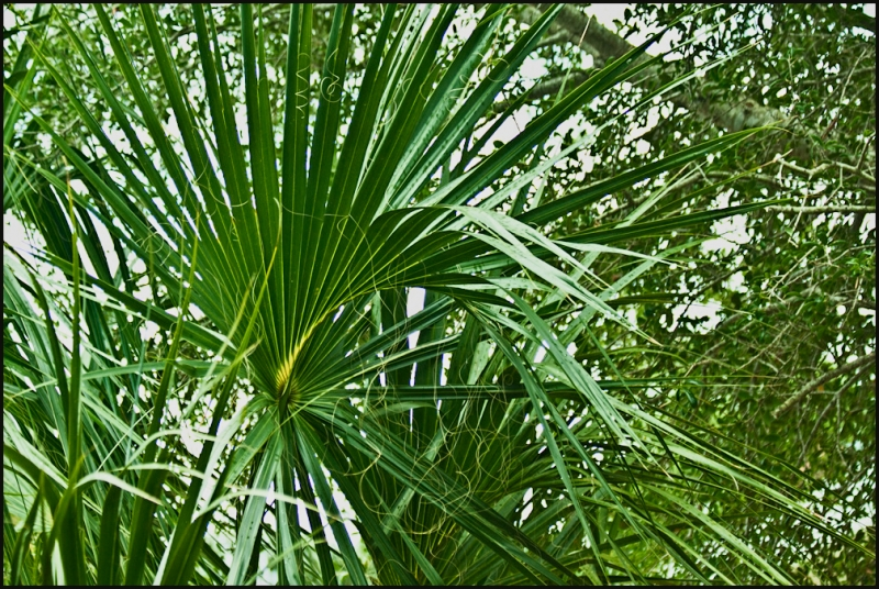Palmetto Thicket