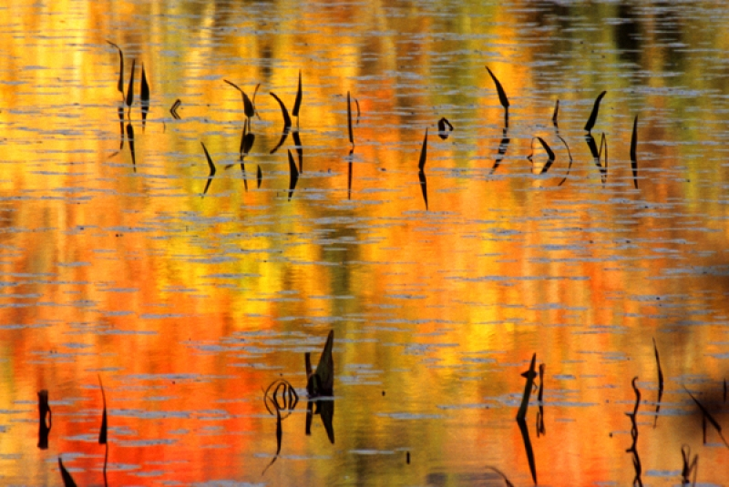 Autumn Reflections & Pickerelweed