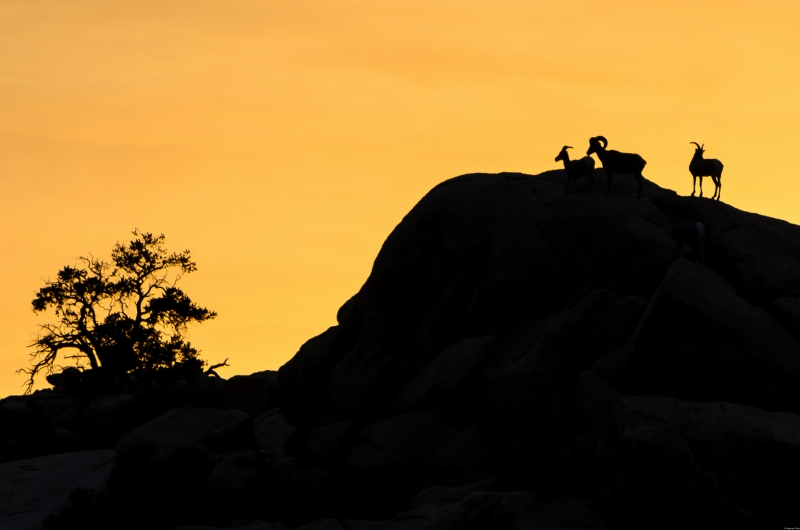 Big Horn Sheep Enjoying The Sunset At Joshua Tree Np