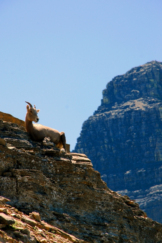 Sheep On The Mountain Pass
