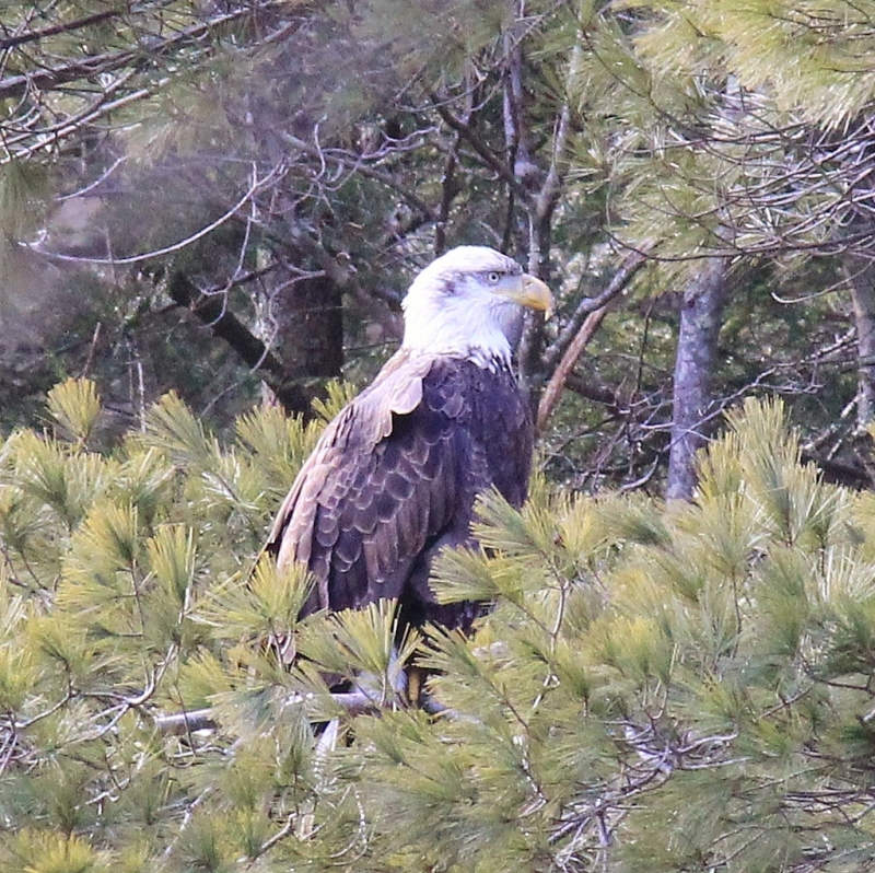 Eagle Roosting In A Pine Tree
