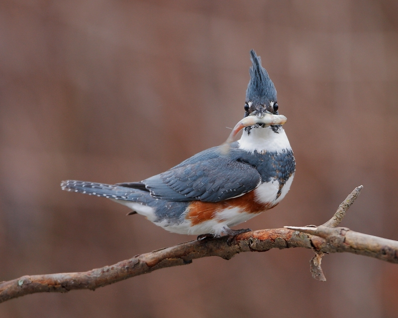 Belted Kingfisher With Prey
