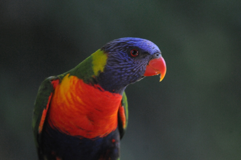 A Lorikeet In The Blue Mountains