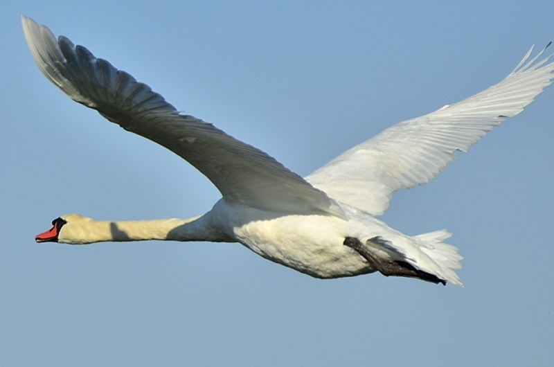 Swan At Cape May State Park