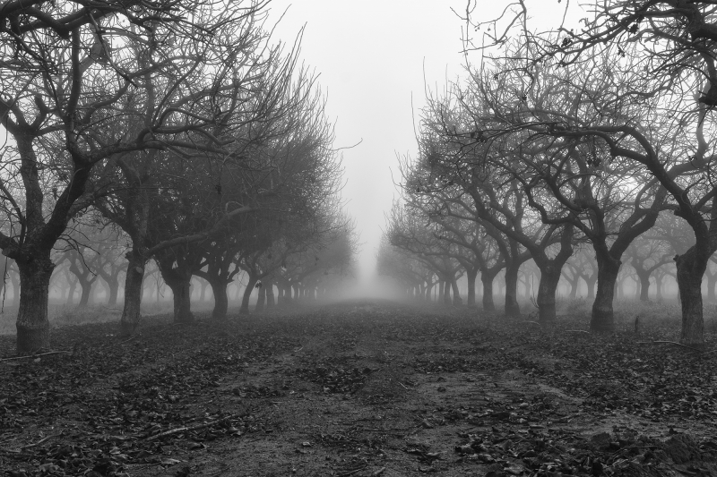 Mist At The Orchard