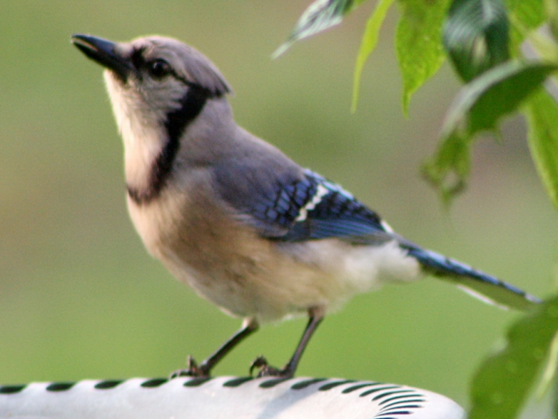Bluejay Drinking Water