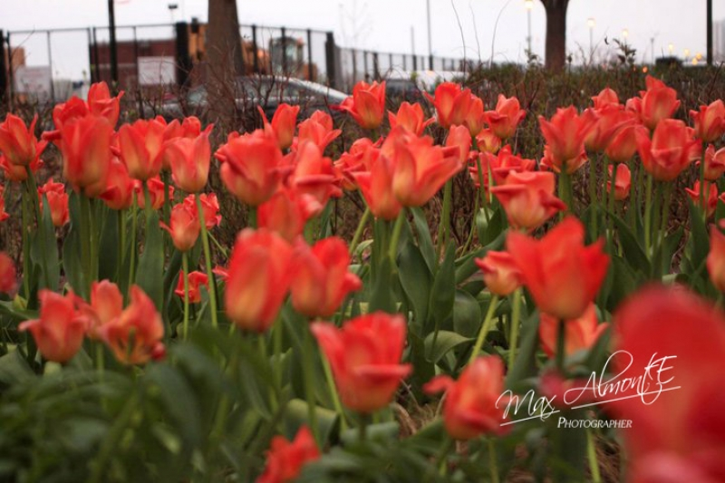 Tulips By The Reservoir