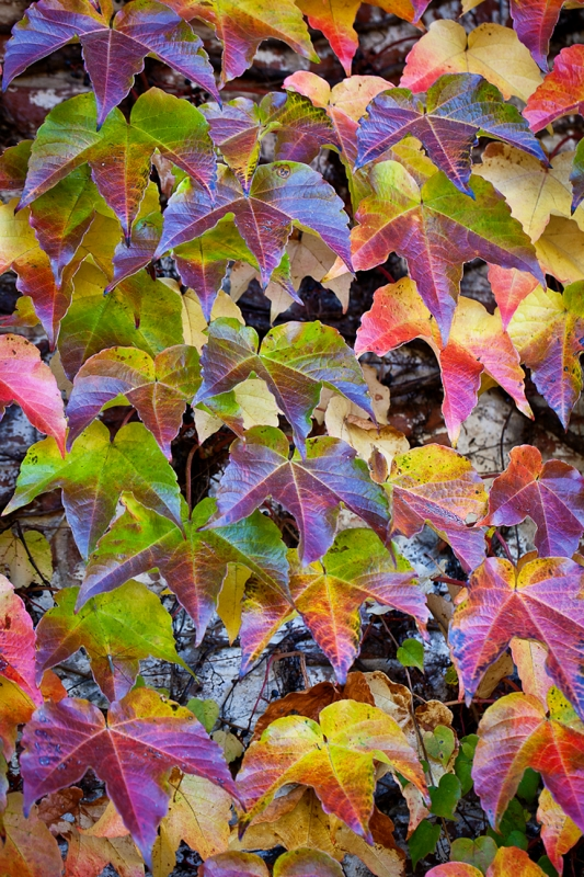 Multi-colored Fall Ivy