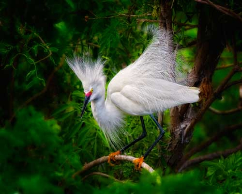 Snowy Egret Display
