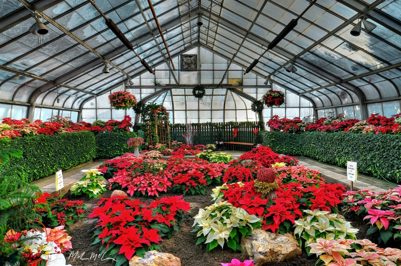 Conservatory Poinsettia