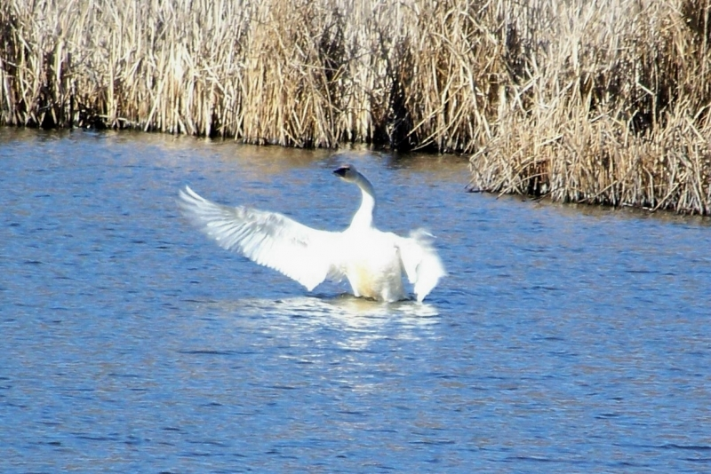 The Captured Beauty Of The Swan