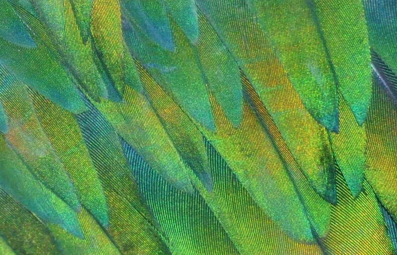 Purple Swamp Hen Feather Detail