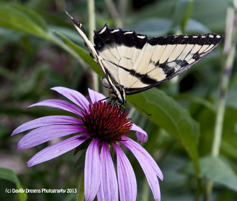 Swallowtail On Echinaccia