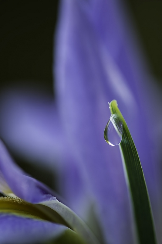 Dewdrop And Iris