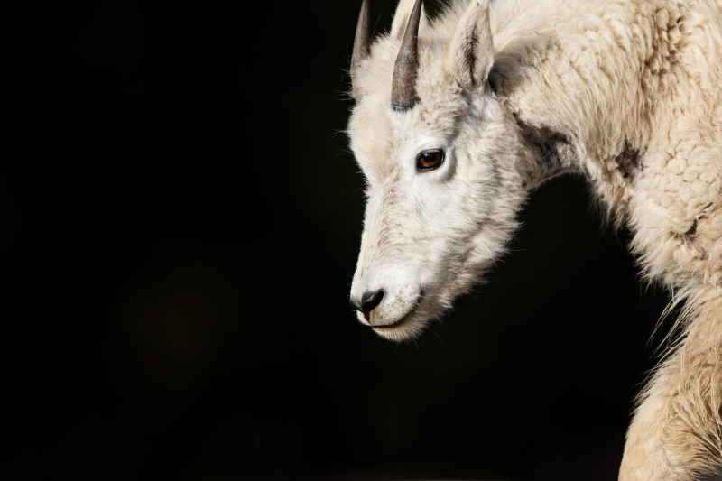 Up Close & Personal Rocky Mountain Goat