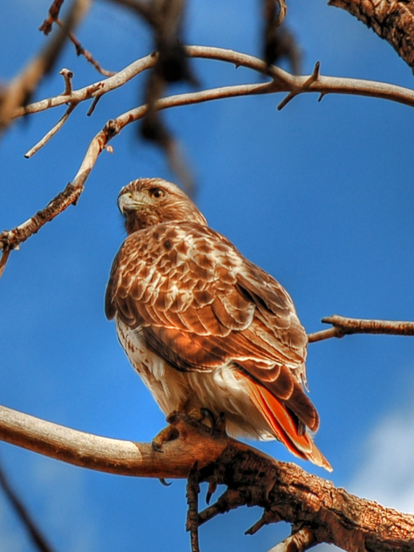 Lone Red Tail Hawk