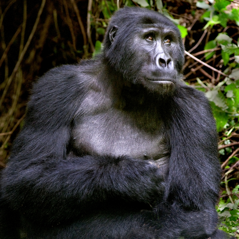 Biwindi Mountain Gorilla
