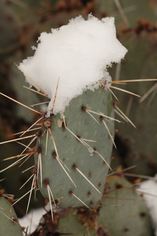 Cactus Catching Snow