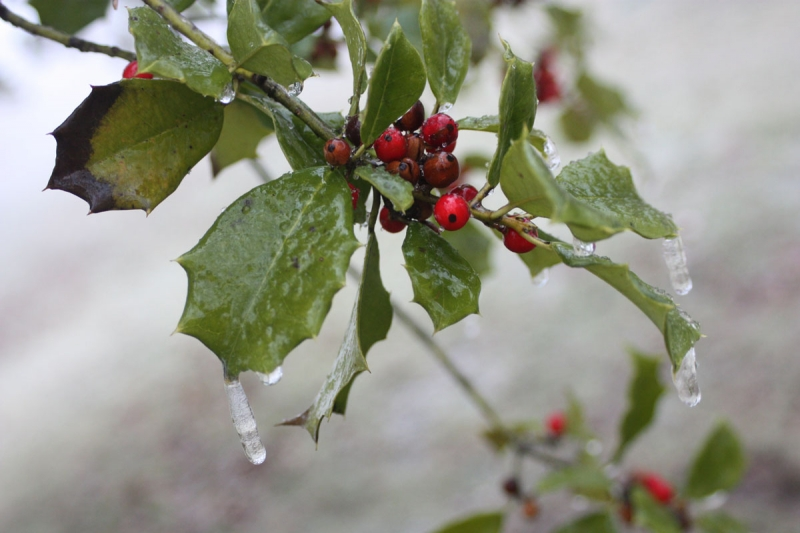 Icy Hollyberry