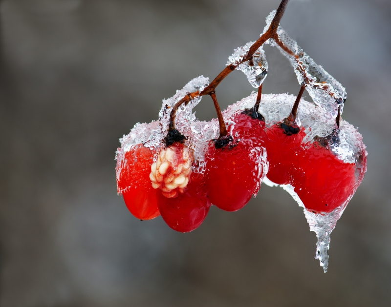 Red Berries In Ice Rain