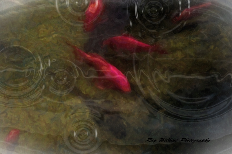 Fish In A Pond With Rain Drops