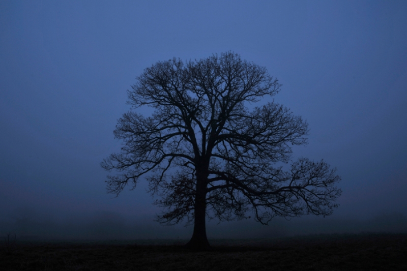 Burr Oak In Morning Fog