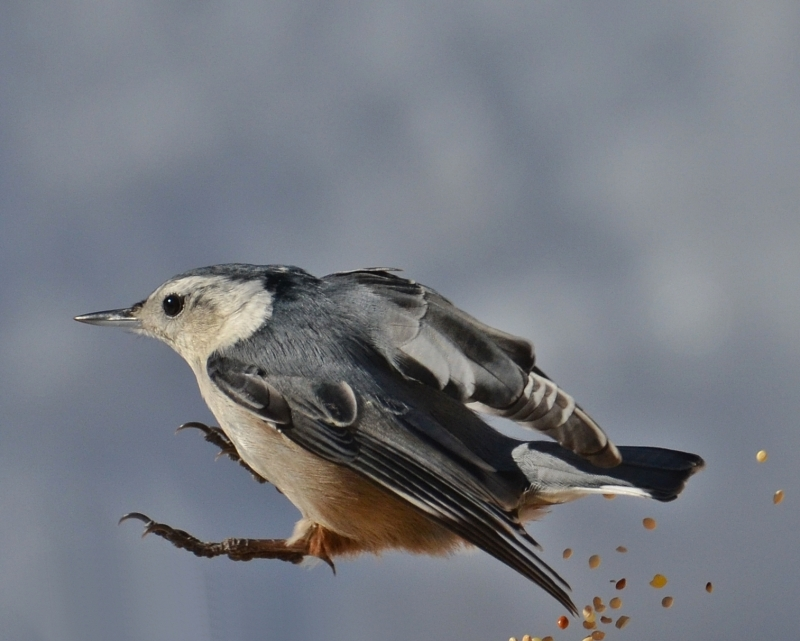Mr. Nuthatch