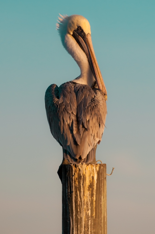 Photogenic Pelican