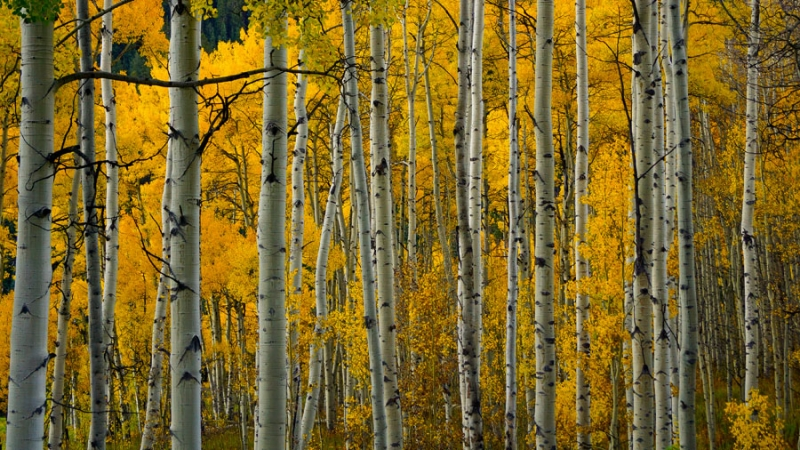 Fall Color – Aspen Colorado