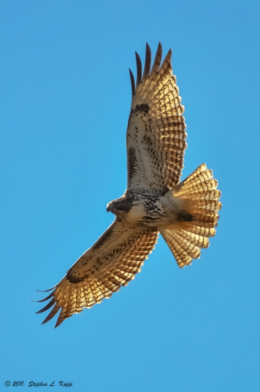 Backlit Red Tailed Hawk In Flight