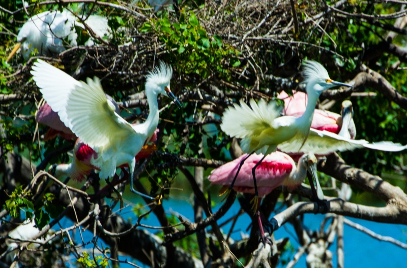 Snowy Egrets And Roseate Spoonbills
