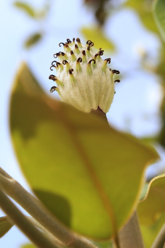 An Insect's View Of A Magnolia