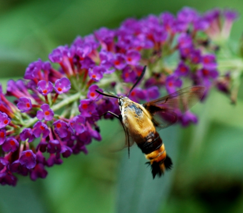 Snowberry Hummingbird Moth