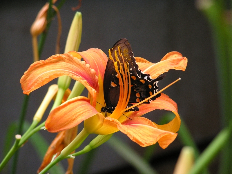 Daylily And Butterfly