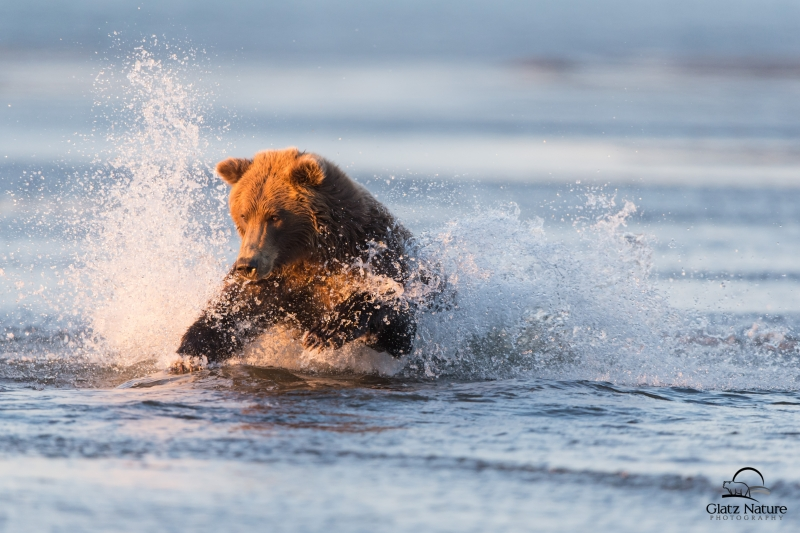 Brown Bear Pounces On Salmon, Alaska