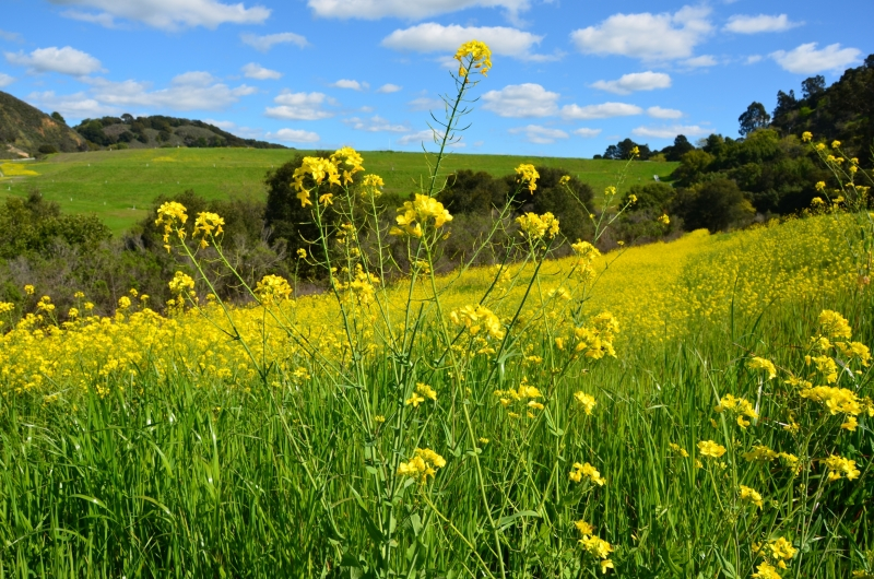 Yellow Mustard Flower Field On A Beautiful Spring Day