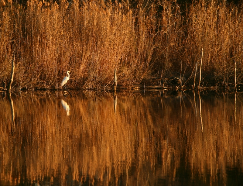 Great Egret At Sunset