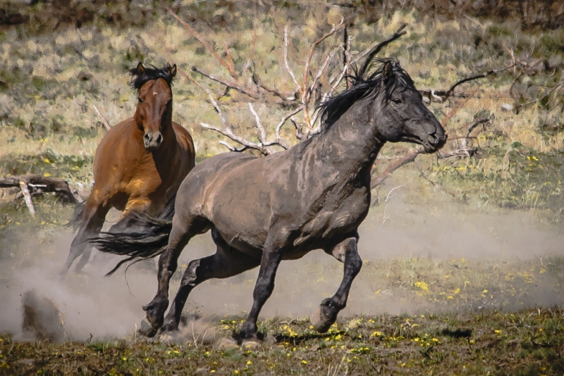 Wild Kiger Stallions Prelude To A Fight