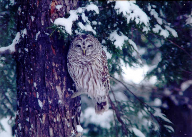 Visit From Barred Owl