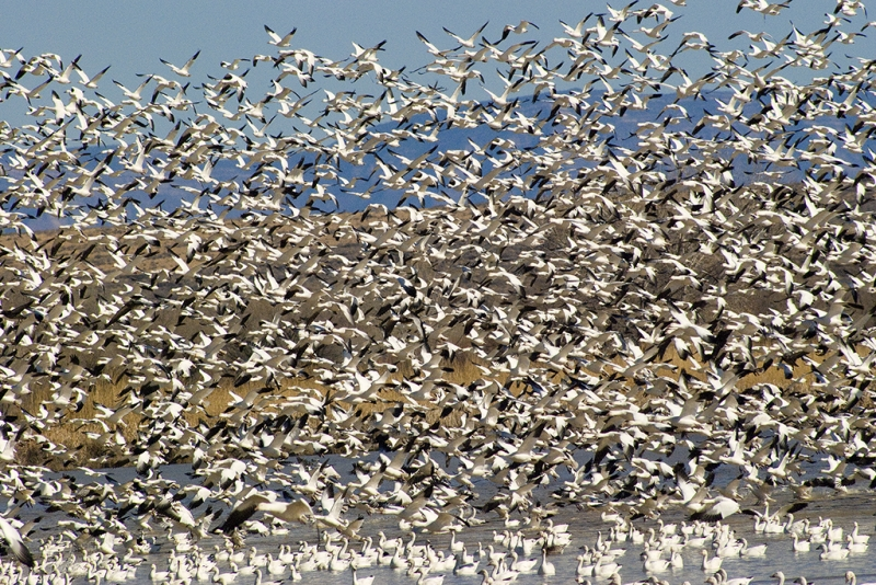 Snow Geese Taking Off, Bosque Del Apache