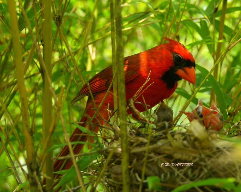 Male Northern Cardinal  Watches Over Nestlings