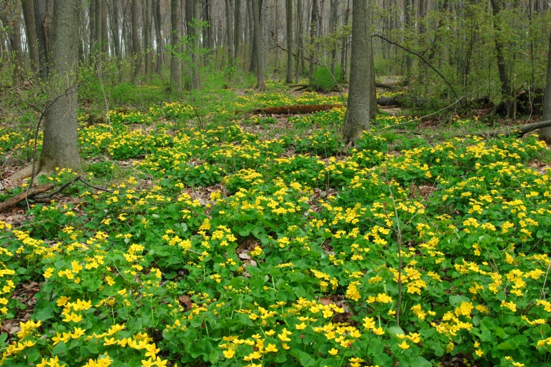 Marsh Marigolds In A Hardwood Swamp