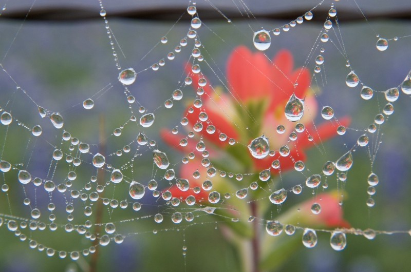 Indian Paintbrush Reflected In Spiderweb