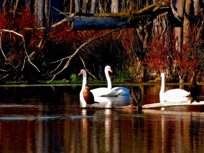 Wild Swans On The Kent Trails