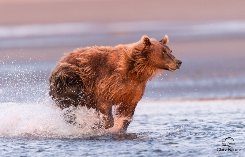 Coastal Brown Bear In Pursuit Of Salmon