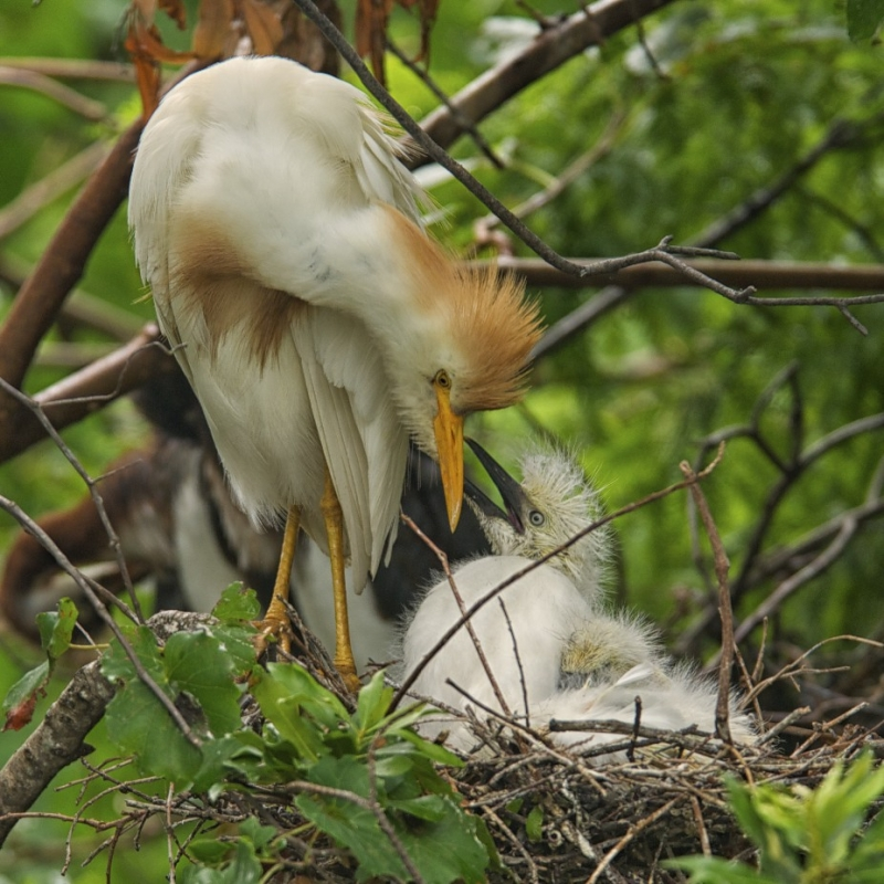Cattle Egret With Chicks