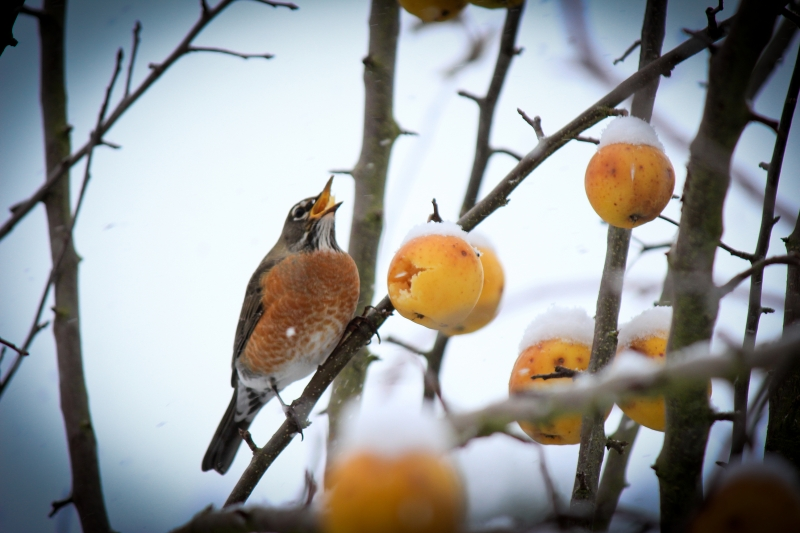 Robins Sing In Snow